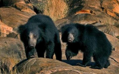 Bears travel to the mountains